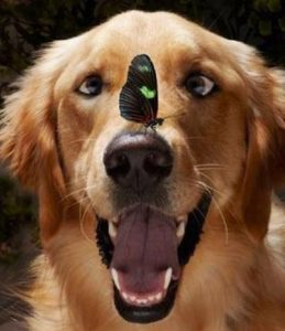 Looking for information about your dog? It is right in front of your nose! Golden retriever with butterfly on nose