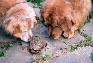 A wellness physical examination at least annually is important for your pet's health. Two golden retrievers examining a box turtle