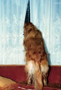 Looking for fast answers? Our in house laboratory can help! Golden retriever peering out a window