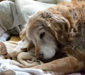 We keep our urgent and critical care patients as comfortable as possible like this golden retriever snuggled in towels and blankets