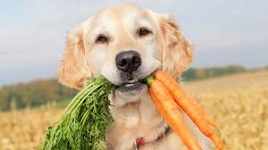 golden retriever with a mouth full of carrots as part of pet food marketing