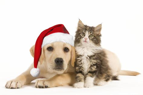 Holiday pet adoption: yellow lab with Santa hat and long haired kitten sit together