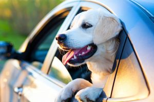 Labrador dog in car hanging out of window. Driving safely with your dog