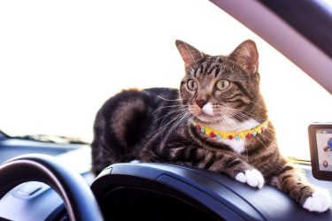 Tabby cat siting on console in car. Car safety for cats.
