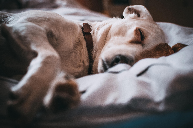 phenobarbital dog side effects